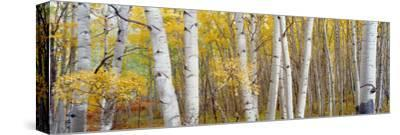 Aspen Trees in a Forest, Colorado, USA--Stretched Canvas Print