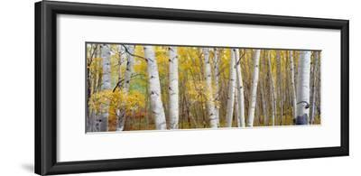 Aspen Trees in a Forest, Colorado, USA--Framed Photographic Print