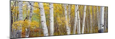 Aspen Trees in a Forest, Colorado, USA--Mounted Photographic Print