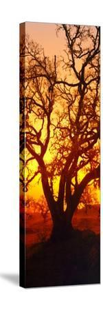 Silhouette of Oaks Trees, Central Coast, California, USA--Stretched Canvas Print