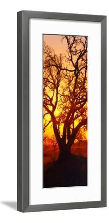 Silhouette of Oaks Trees, Central Coast, California, USA--Framed Photographic Print