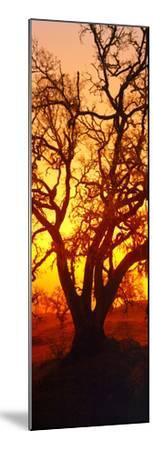 Silhouette of Oaks Trees, Central Coast, California, USA--Mounted Photographic Print