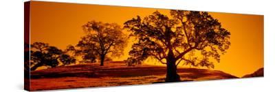Silhouette of California Oaks Trees, Central Coast, California, USA--Stretched Canvas Print