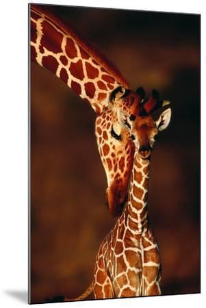 Giraffe and Baby-Lantern Press-Mounted Art Print