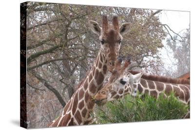 Giraffe Eating-Lantern Press-Stretched Canvas Print