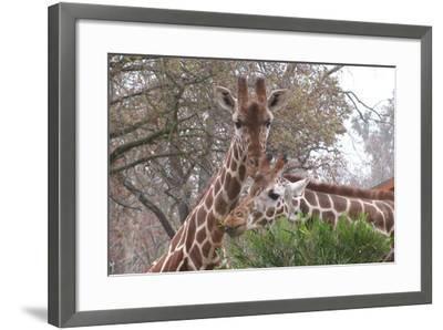 Giraffe Eating-Lantern Press-Framed Art Print