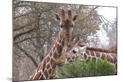 Giraffe Eating-Lantern Press-Mounted Art Print