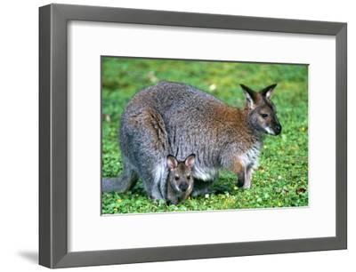 Wallaby and Joey-Lantern Press-Framed Art Print