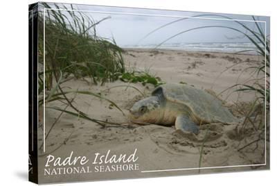 Padre Island National Seashore - Kemp's Ridley Sea Turtle Hatching-Lantern Press-Stretched Canvas Print