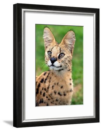 Serval-Lantern Press-Framed Art Print