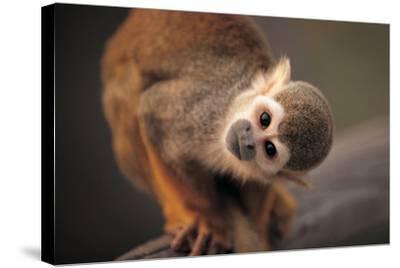 Squirrel Monkey-Lantern Press-Stretched Canvas Print
