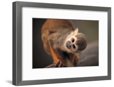 Squirrel Monkey-Lantern Press-Framed Art Print