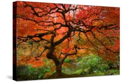 Japanese Maple-Lantern Press-Stretched Canvas Print