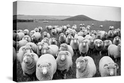 Sheep's Eyes-Raymond Kleboe-Stretched Canvas Print