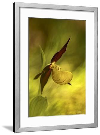 Italy, Friuli Venezia Giulia , Lady's Slipper (Slipper Orchid)-Cristiana Damiano-Framed Photographic Print