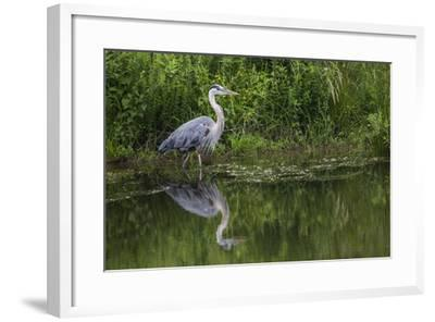 A Great Blue Heron Wades at the Edge of a Pond Near the Occoquan River in Northern Virginia-Kent Kobersteen-Framed Photographic Print