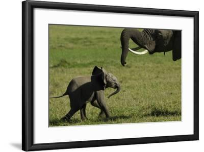 An African Elephant Mother Urging Her Calf on with Her Trunk-Beverly Joubert-Framed Photographic Print