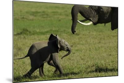 An African Elephant Mother Urging Her Calf on with Her Trunk-Beverly Joubert-Mounted Photographic Print