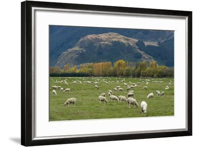 Sheep Graze in a Pasture in Mount Aspiring National Park-Michael Melford-Framed Photographic Print