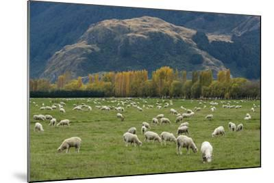 Sheep Graze in a Pasture in Mount Aspiring National Park-Michael Melford-Mounted Photographic Print