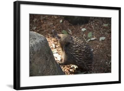 Short-Beaked Echidna, Tachyglossus Aculeatus, at the Taronga Zoo-Joel Sartore-Framed Photographic Print