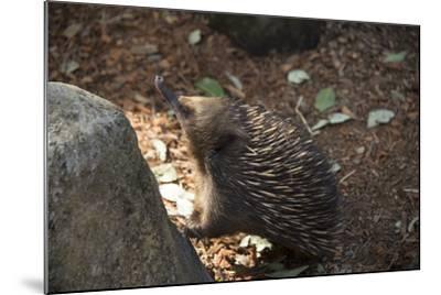 Short-Beaked Echidna, Tachyglossus Aculeatus, at the Taronga Zoo-Joel Sartore-Mounted Photographic Print