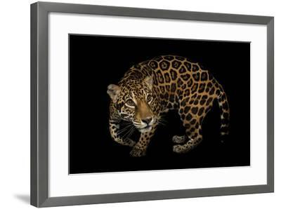 A Federally Endangered, Ten-Year-Old, Female Jaguar at the Dallas World Aquarium-Joel Sartore-Framed Photographic Print