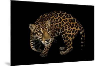 A Federally Endangered, Ten-Year-Old, Female Jaguar at the Dallas World Aquarium-Joel Sartore-Mounted Photographic Print