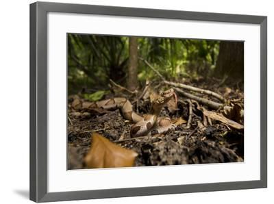 A Copperhead Snake Laying in Leaf Matter on the Forest Floor, Smelling with its Tongue-Karine Aigner-Framed Photographic Print
