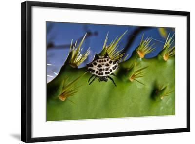 A Spinybacked Black and White Orb Weaver Spider on the Thorns of a Prickly Pear Cactus-Karine Aigner-Framed Photographic Print