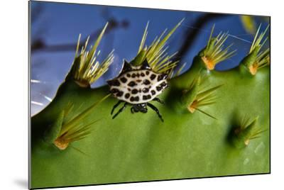 A Spinybacked Black and White Orb Weaver Spider on the Thorns of a Prickly Pear Cactus-Karine Aigner-Mounted Photographic Print