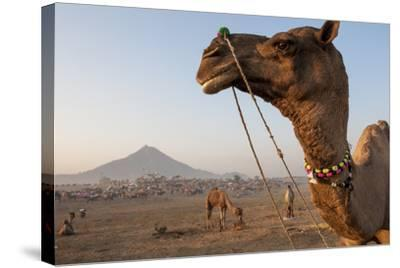 Portrait of a Camel Adorned with Colorful Beads in India-Jonathan Kingston-Stretched Canvas Print