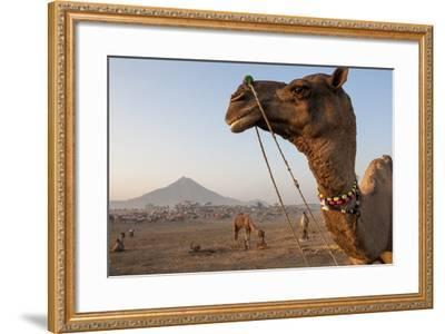 Portrait of a Camel Adorned with Colorful Beads in India-Jonathan Kingston-Framed Photographic Print