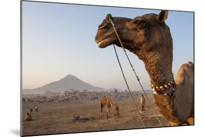 Portrait of a Camel Adorned with Colorful Beads in India-Jonathan Kingston-Mounted Photographic Print