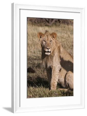 Portrait of a Male Lion, Panthera Leo, Looking at the Camera-Sergio Pitamitz-Framed Photographic Print