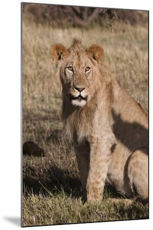 Portrait of a Male Lion, Panthera Leo, Looking at the Camera-Sergio Pitamitz-Mounted Photographic Print