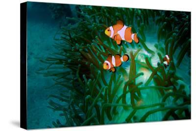 A Close Up of a False Clown Anemone Fish, Amphiprion Ocellaris, Swimming in an Anemone-Ben Horton-Stretched Canvas Print
