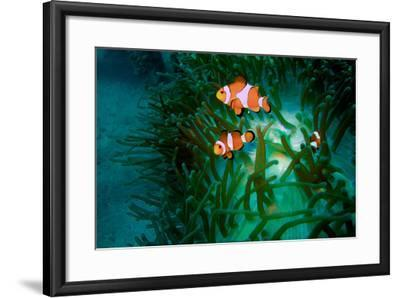 A Close Up of a False Clown Anemone Fish, Amphiprion Ocellaris, Swimming in an Anemone-Ben Horton-Framed Photographic Print