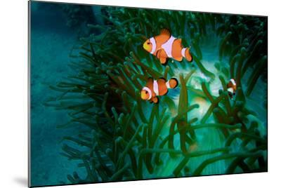 A Close Up of a False Clown Anemone Fish, Amphiprion Ocellaris, Swimming in an Anemone-Ben Horton-Mounted Photographic Print
