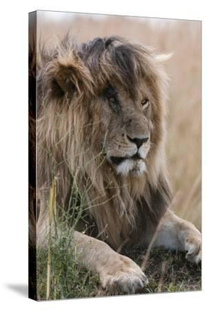 Portrait of a Resting Male Lion, Panthera Leo, known in the Masai Mara As, Scarface-Sergio Pitamitz-Stretched Canvas Print