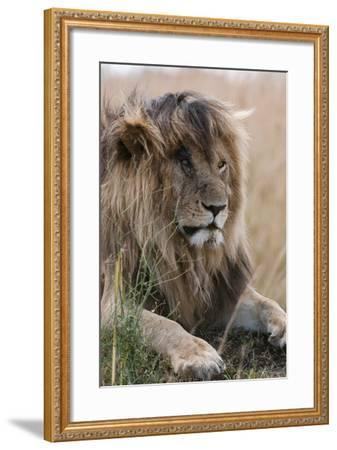 Portrait of a Resting Male Lion, Panthera Leo, known in the Masai Mara As, Scarface-Sergio Pitamitz-Framed Photographic Print