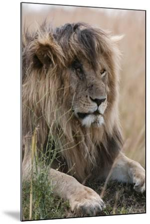 Portrait of a Resting Male Lion, Panthera Leo, known in the Masai Mara As, Scarface-Sergio Pitamitz-Mounted Photographic Print