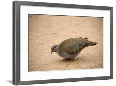 A Brush Bronzewing Pigeon, Phaps Elegans, at the Healesville Sanctuary-Joel Sartore-Framed Photographic Print
