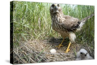 A Female Northern Harrier Hawk with a Chick and an Egg in Her Nest-Michael Forsberg-Stretched Canvas Print