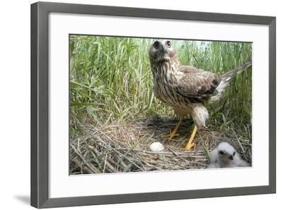 A Female Northern Harrier Hawk with a Chick and an Egg in Her Nest-Michael Forsberg-Framed Photographic Print