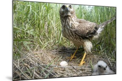 A Female Northern Harrier Hawk with a Chick and an Egg in Her Nest-Michael Forsberg-Mounted Photographic Print