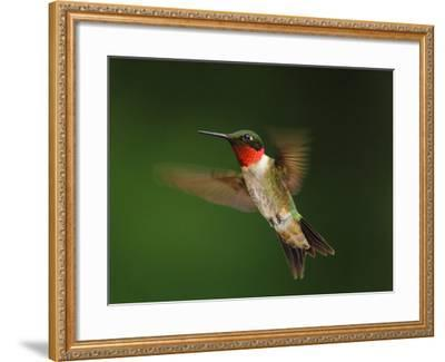 A Male Ruby-Throated Hummingbird, Archhilochus Colubris, in Flight-George Grall-Framed Photographic Print