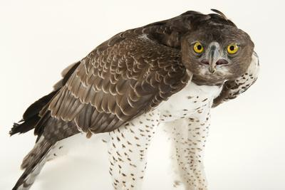 A Martial Eagle, Polemaetus Bellicosus, at Tampa's Lowry Park Zoo-Joel Sartore-Framed Photographic Print