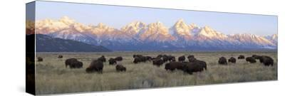 A Large Herd of Bison Moves across the Open Range of the Tetons-Barrett Hedges-Stretched Canvas Print