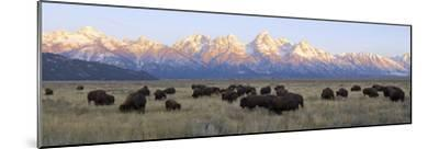 A Large Herd of Bison Moves across the Open Range of the Tetons-Barrett Hedges-Mounted Photographic Print